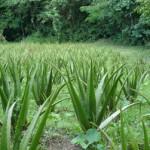 Bir Meyve Olarak Aloe Vera