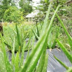 Aloe Vera'nın Tarihi