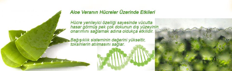 aloe-vera-hücreler
