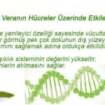 Aloe Veranın Hücreler Üzerinde Etkileri