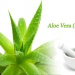 Aloe Vera (Barbadensis Miller)